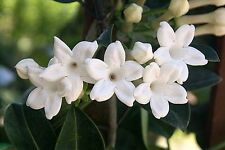 6 FRESH Stephanotis Floribunda / Madagascar Jasmine Seeds - SUPER FRAGRANT!