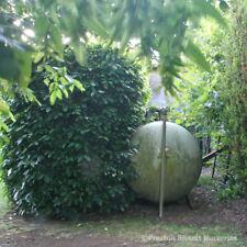 Prunus Lusitanica Portuguese Laurel Potted 100-125cm x 5