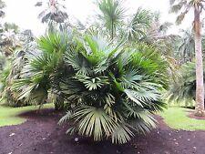 "1G Size Live Rare Chuniophoenix hainanensis ""Hainan Fan Palm"" Tree Seedling"