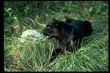 304058 Leopard Black Phase A4 Photo Print