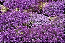 "2000+Purple Dwarf Sweet Alyssum Flower Seeds ""Royal Carpet"" Groundcover/Baskets"