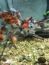 Calico Oranda Goldfish Great Size FEDEX EXPRESS SHIPPING Actual Fish