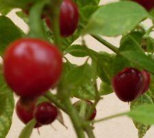 Kirschchili Samen - Chili - Chilli - Kirschpaprika Aromatisch neue Ernte
