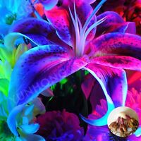 Blue Lily Bulbs, Blue Lily Flowers, Rare Flower Bonsai Plant, 2Pcs, Lily Plants