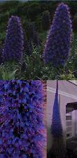 Blauer Riesen-Natternkopf : Eine sukkulente Blumen-Pyramide ☃ frisches Saatgut ☃