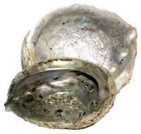 "5-6"" Abalone Shell Incense Sage Burner Crystal Energy Purify Cleanse Smudge Tool"