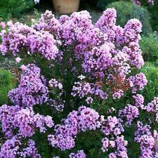 Pianta Lagerstroemia Indica Orchid Viola cespuglio Lilla delle indie