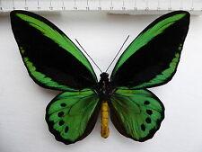 Ornithoptera priamus ssp.priamus M Aberation ex Ambon, Moluccas, 4/10