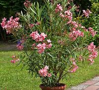 60-80 cm Freiland von spanischer Plantage Nerium Oleander rot Gesamthöhe ca