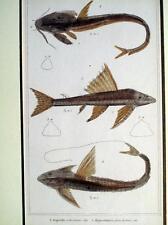 PESCI,ANIMALI,ZOOLOGIA,ASPREDO,Hypostomus plecostomus,LORICARIA,STAMPA ANTICA