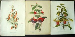 8 Antique 1894 - 1921 Amateur Gardening prints of Fuchsias