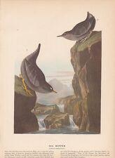 """1942 Vintage AUDUBON BIRDS #435 """"DIPPER"""" GORGEOUS Color Art Plate Lithograph"""