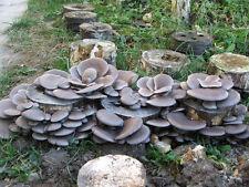 20 Fresh BLUE OYSTER Pleurotus Columbinus Mushroom Plugs Dowels Spawn Mycelium