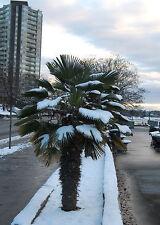 fünf Pflanzen Washingtonia-Palme winterhart / auch als Bonsai im Topf geeignet !