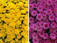 Changing Seasons Garden Mums/Belgian Mums Annual Flowering Potted Plants