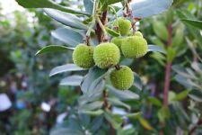 Arbutus Unedo Erdbeerbaum ca. 80 - 100 cm  winterhart immergrün bildet Früchte