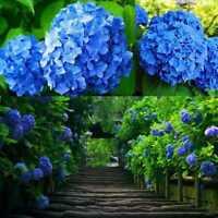 4Colors 50Pcs Rare Charm Hydrangea Flower Seeds Yard Garden Perennial Plants