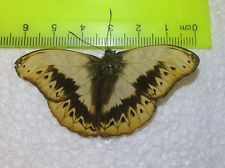 TOG08 A+/ A  Cymothoe hermenia Nymphalidae Forester Papilio