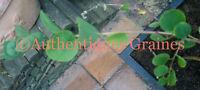 10/20 Graines Câprier Capparis Spinosa Plante Insolite Câpre Fleurs Blanches