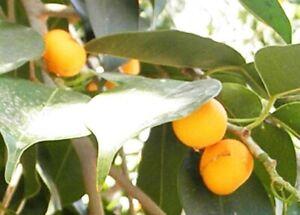 Ficus religiosa   Sacred Fig   Bodhi Tree   Pippala  Peepul   Peepal   100_Seeds