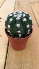 ECHINOPSIS SUBDENUDATA Cactus vivo  5,5 pot Kakteen Kakti Live Cactus