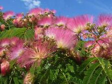 Silk Tree   Mimosa   Albizia julibrissin   30 Seeds   (Free Shipping)