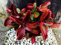 Kalanchoe Sexangularis ~ Amazing Red Leaved Succulent ~ Rare 10 Tiny Seeds ~