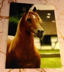 "Named Arabian Stallion Horse Postcard - ""Manial II"""