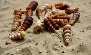 Turritella Screw Natural Broken, Crushed seashells, Craft & Decor Sea Shells