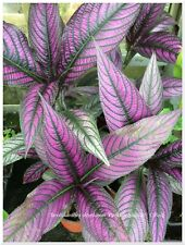 Strobilanthes dyerianus Persian Shield - 1 plant