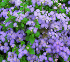 Ageratum Market growers blue 300 flower garden seeds Scented not for WA or TAS