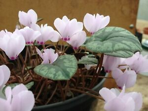 Cyclamen Cilicium, 25 seeds, pink flowers,  seed collected 2021.