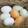 Wooden Fake Artificial Eggs Kitchen Decorative Kids Play Toys painting Craft