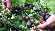 "Black Velvet Gooseberry Bush - No Ship to Nc, Wv, Nh - 2.5"" Pot"