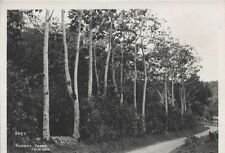 PHOTOGRAPHS OF RUBBER TREES   BAMBOO ARCHES -TRINIDAD-SET OF TWO ORIGINAL PRINTS