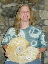 "Monster Size Rare 15"" Texas Fossil Ammonite,Dinosaur Age, Cretaceous-E768"