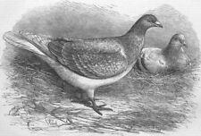 BELGIUM. The Antwerp Carrier Pigeon, antique print, 1871