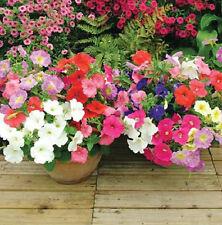 Petunia 100 Seeds Mixed Colors Attract Hummingbirds & Butterflies Free Ship!