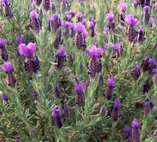 Lavender stoechas dark purple  in 50mm forestry tube perennial plant