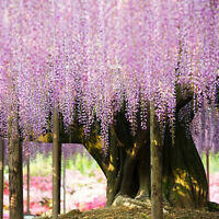 10 Stück Lila Floribunda Chinesische Wisteria Vine Samen Blumen Garten Pflanze_