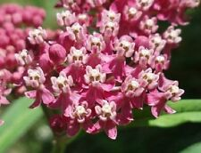 30+ ROSE W/PINK  CENTER BUTTERFLY WEED FLOWER SEEDS / ASCLEPIAS / PERENNIAL /