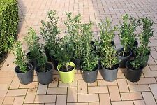 "Buxus microphylla japonica Japanese Box Hedge $10ea 500mm  ""Bright green leaves"""