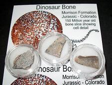 Special Offer £3 Budget Fossils - Jurassic Dinosaur bone slice