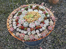 Succulent cuttings for vertical & roof -120 (12 types x 10) drought tolerant