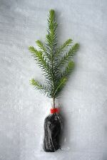 Norway Spruce, Picea Abies,  Christmas Tree Plug Plants  X  10