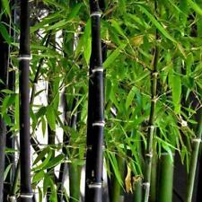 Black Bamboo_Seeds Phyllostachys Nigra 100pcs 2019 Fast M2H4