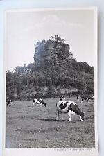 27324 Foto AK Sächsische Schweiz um 1930 Elbgebirge der Zirkelstein -1720 Kühe