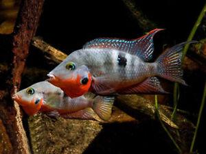 """Firemouth Cichlid Live Fish Aquarium Tanks Aquatics Tropical 2"""""""