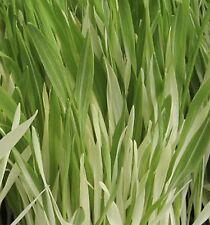 100 Graines non traitées d' Orge panachée Herbe à chat Complément NATUREL