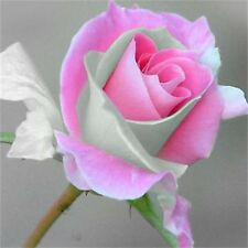 50Pcs Light Pink Rose Seeds Romantic Love Beautiful Climber Fragrant Flowers h2